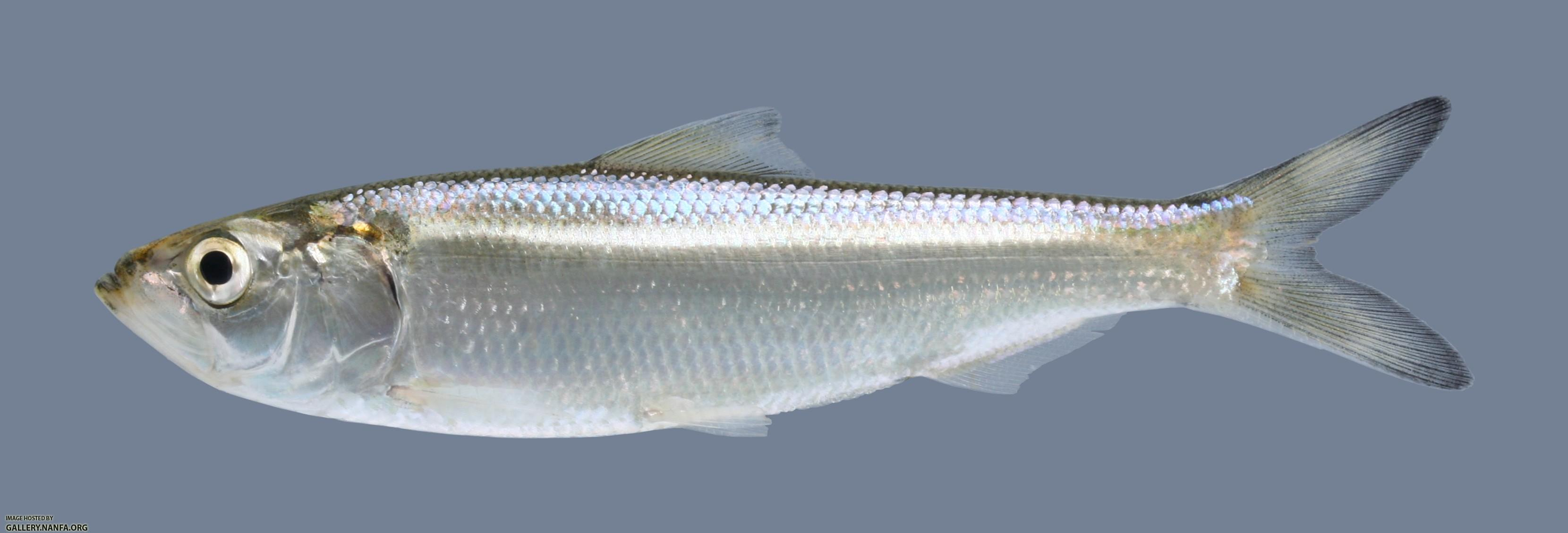 Image gallery skipjack shad for Fish dream meaning