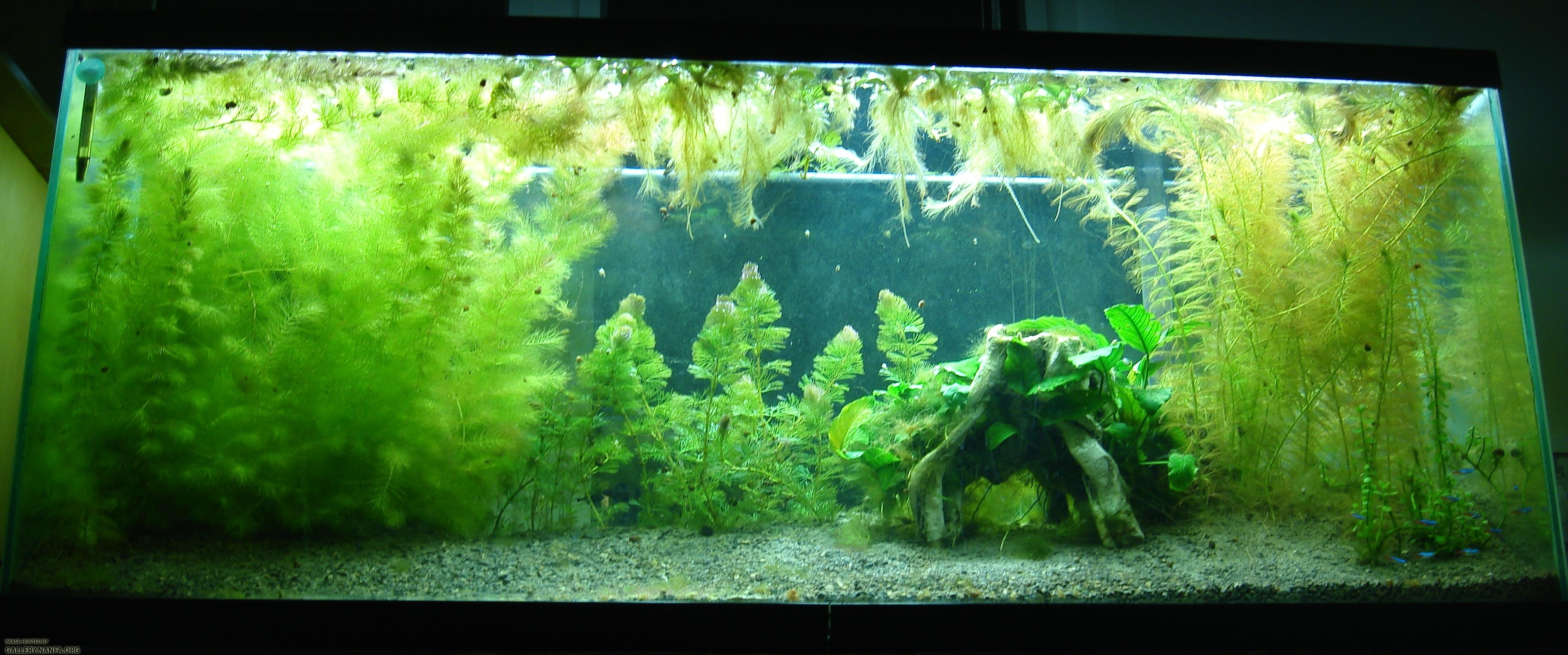 55 gallon elassoma gilberti and neon tetra aquarium as of for Neon fish tank
