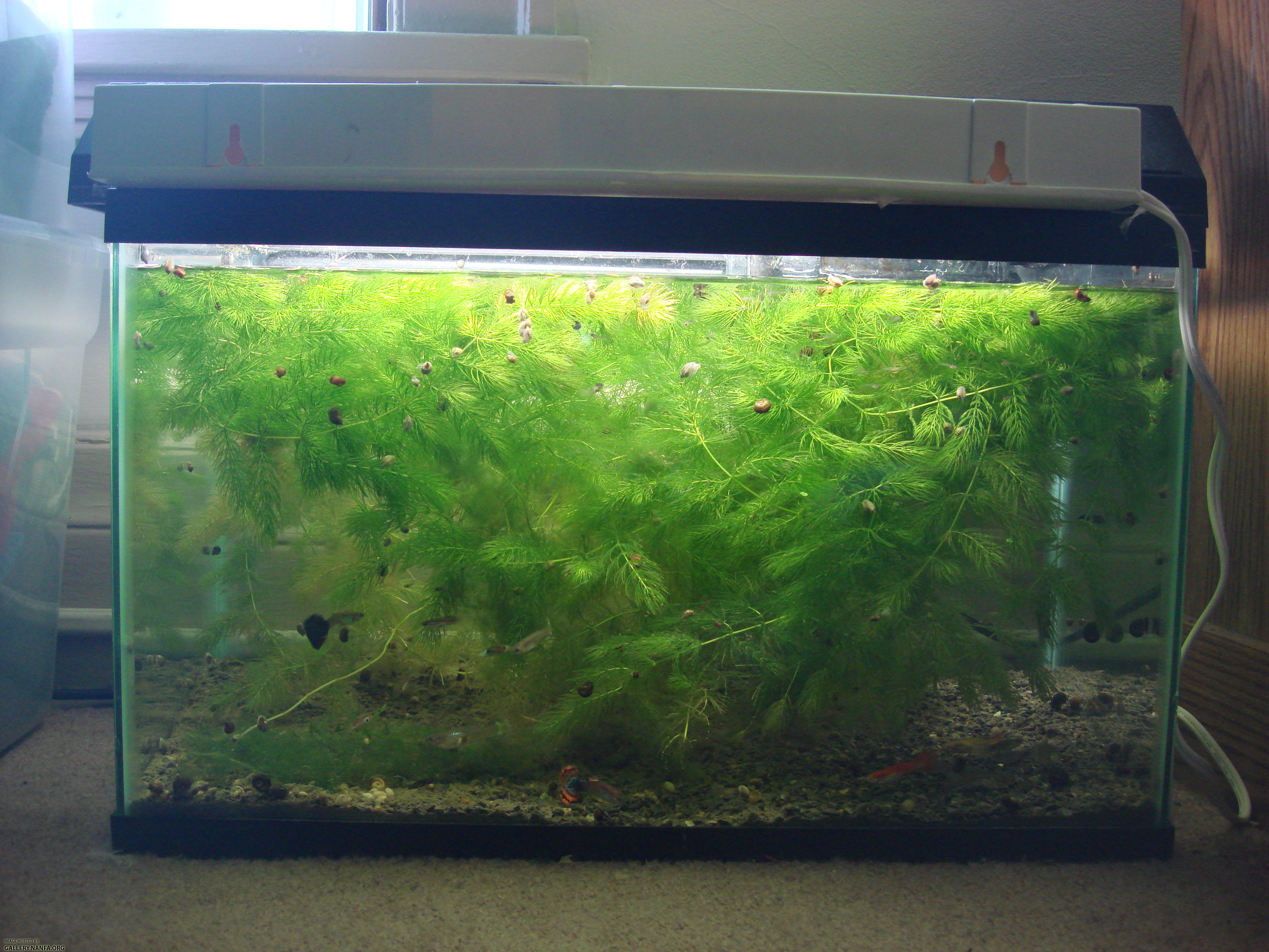 10 gallon guppy tank setup, stuffed with Ceratophyllum demersum and with an excellent fry survival rate.