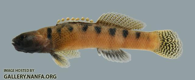 Etheostoma flabellare flabellare Barred Fantail Darter