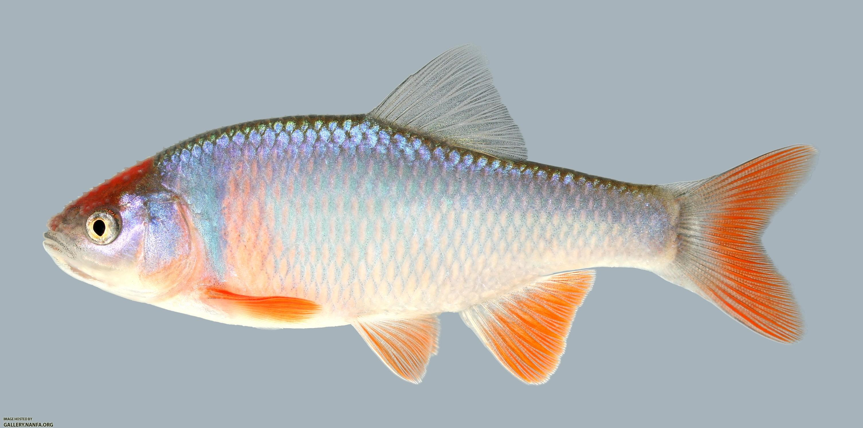 Native and invasive fish species of missouri missouri 39 s Freshwater fish with red fins