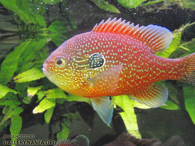 Native fish for a high tech planted tank? - Native Plants - NANFA ... Rare Freshwater Fish