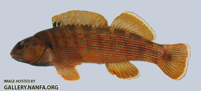 Etheostoma camurum Bluebreast Darter