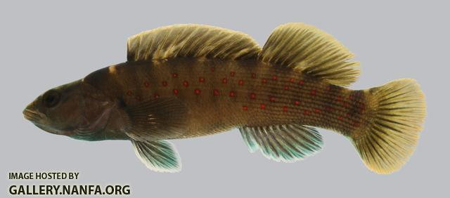 Etheostoma maculatum  Spotted Darter 2.2