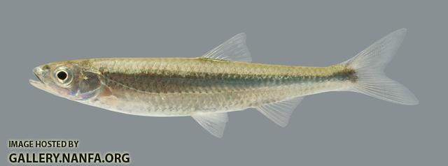 Notropis photogenis Silver Shiner