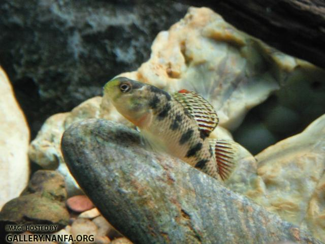 Kentucky Darter 06.JPG