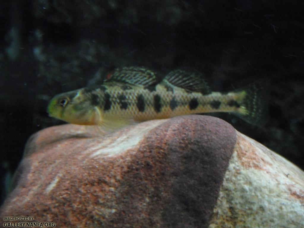 Kentucky Darter 08.JPG