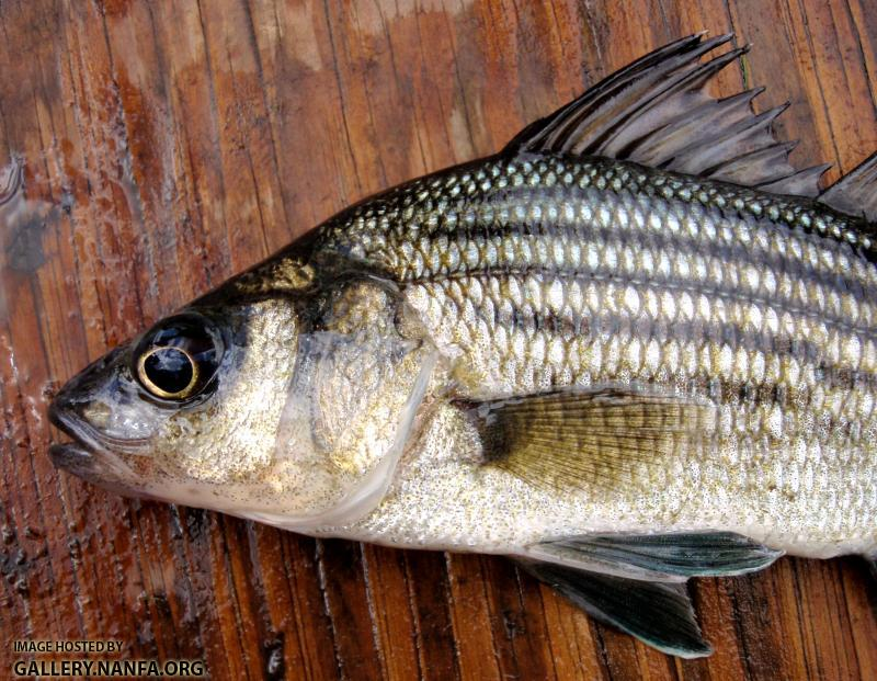 Yellow bass