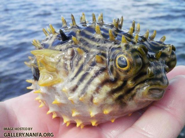 A puffed up Striped Burrfish.