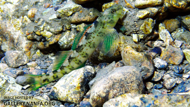 greenside darter