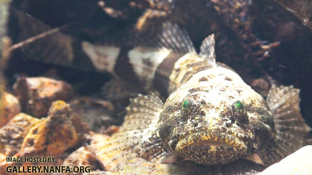 sculpin with green eyes (retractable lens)