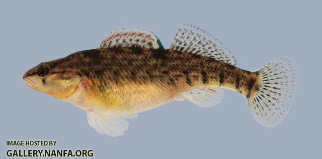 Etheostoma caeruleum Rainbow Darter 235.2-3000