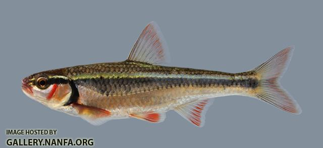 Luxilus zonatus Bleeding Shiner 656