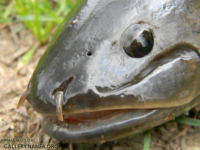 bowfin nares