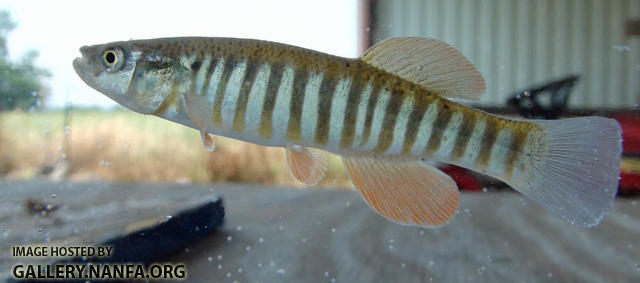 plains killifish