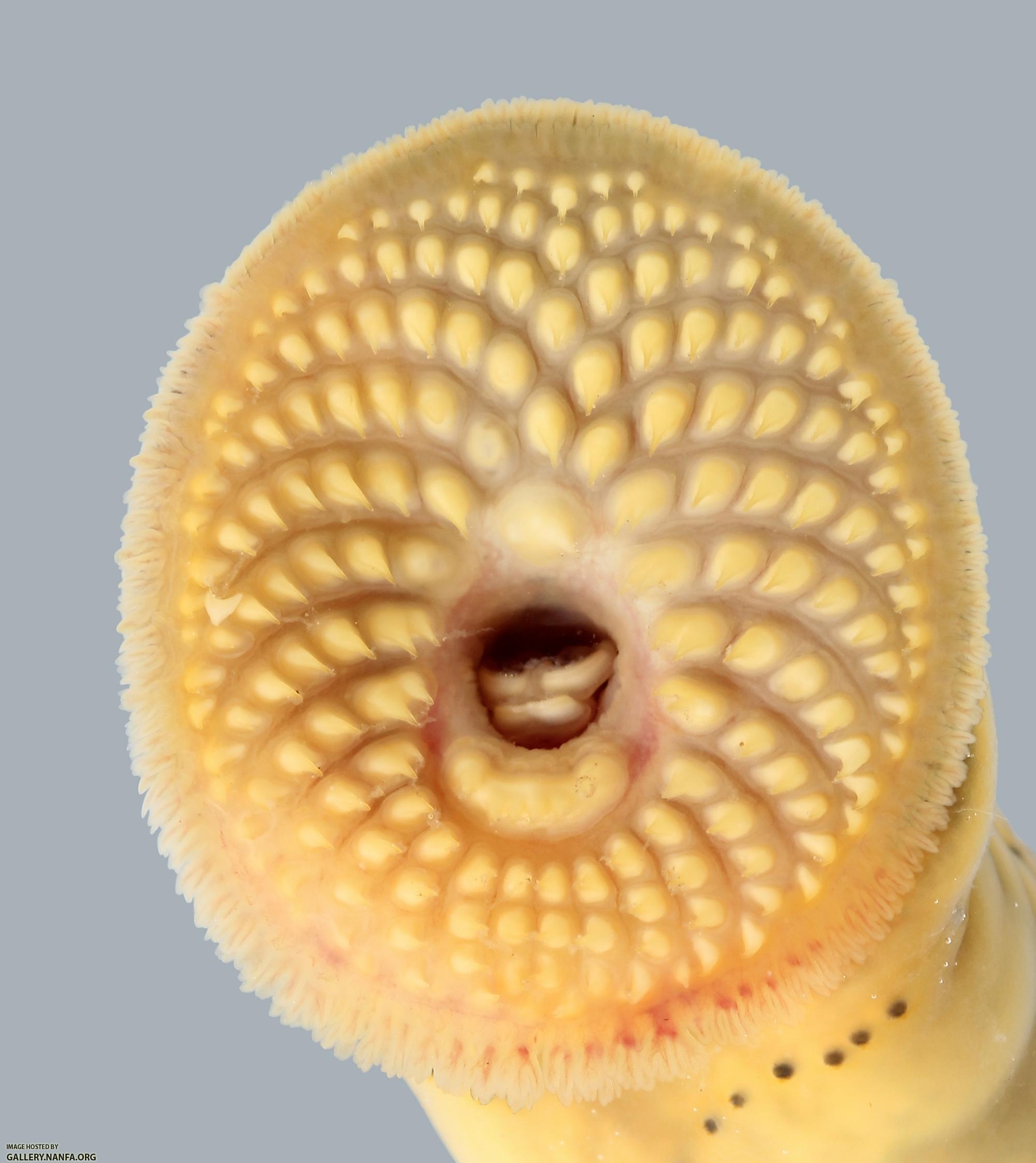 Ichthyomyzon Castaneus Chestnut Lamprey 2779