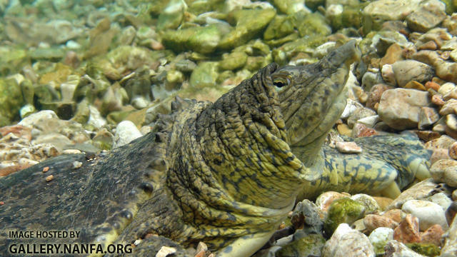 western spiny softshell turtle