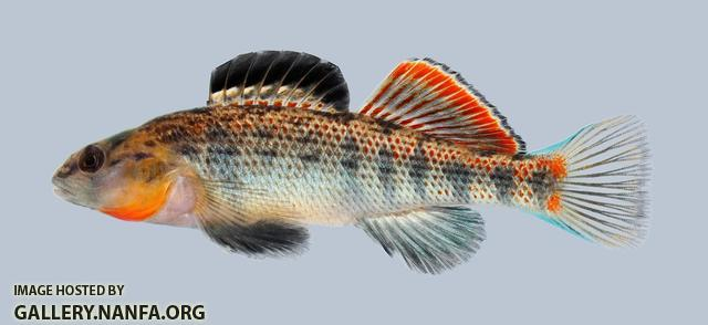 Etheostoma spectabile Orangethroat Darter 198