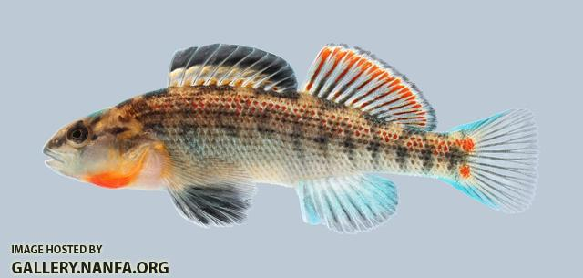 Etheostoma spectabile Orangethroat Darter 222