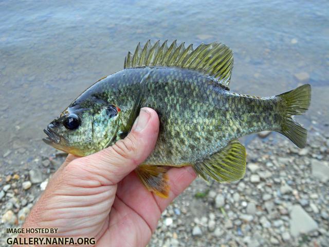 redear sunfish