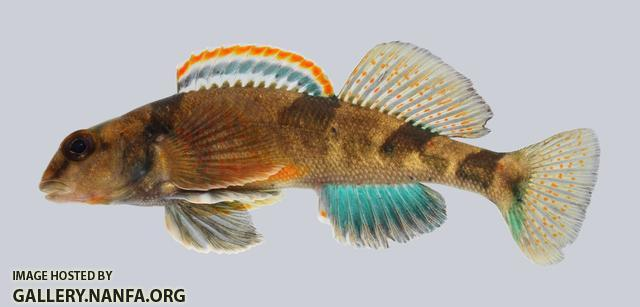 Etheostoma euzonum Arkansas Saddled Darter 230