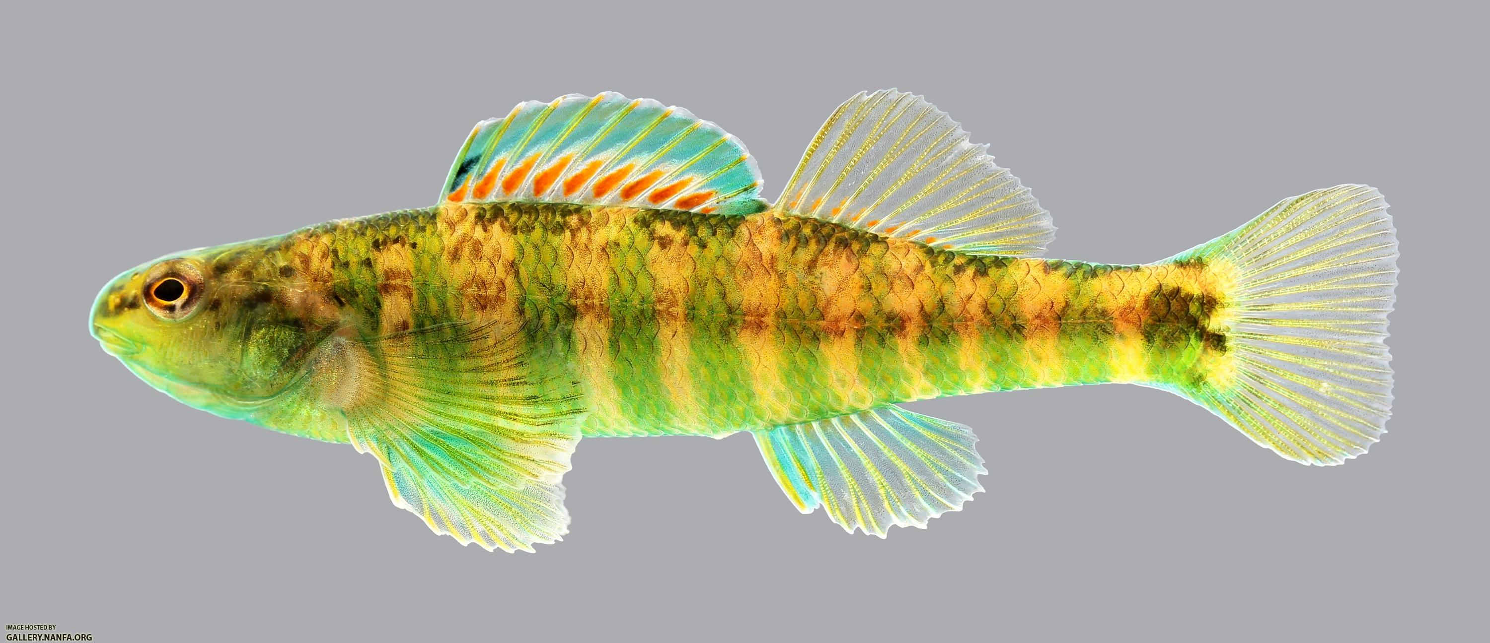 Etheostoma zonale Banded Darter 109