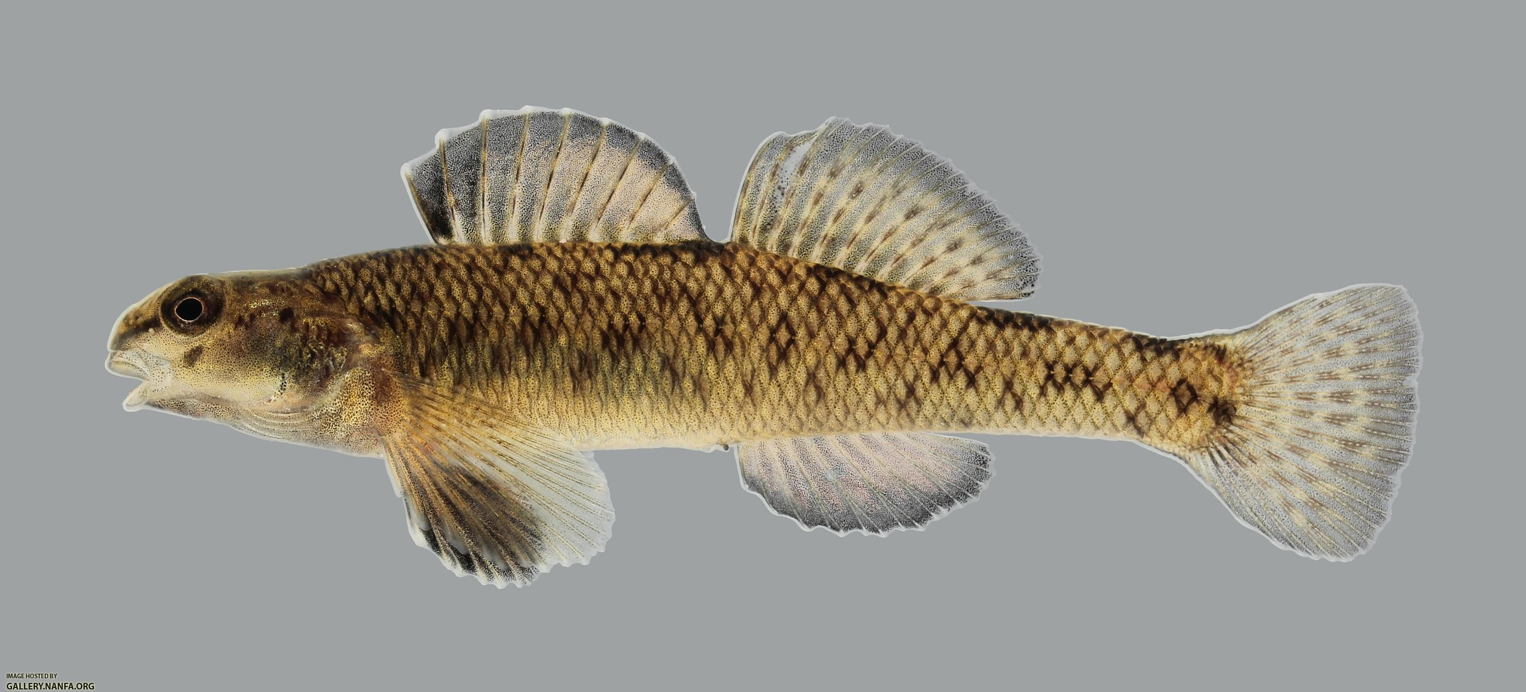 Etheostoma nigrum John...