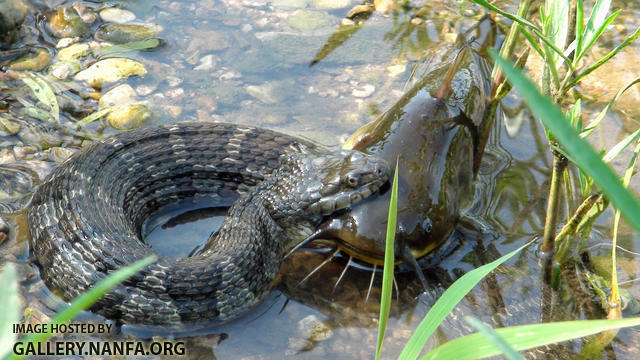 water snake with bullhead