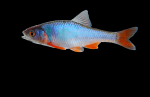 red shiner (male)