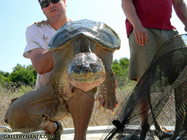 snapping turtle trap net