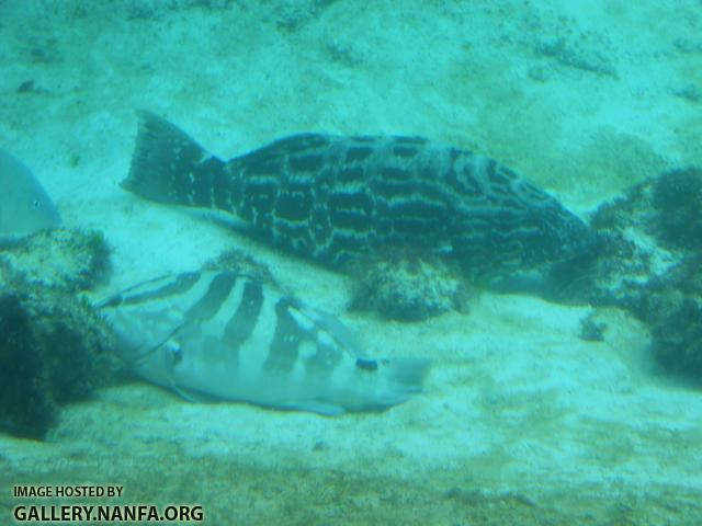 black grouper and nassau grouper