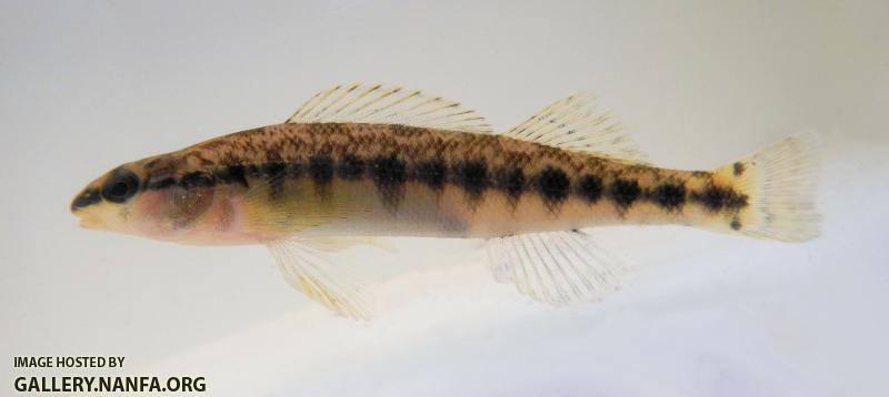 johns creek blackbanded darter.jpg