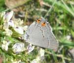 grey butterfly close
