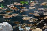 large school of dace