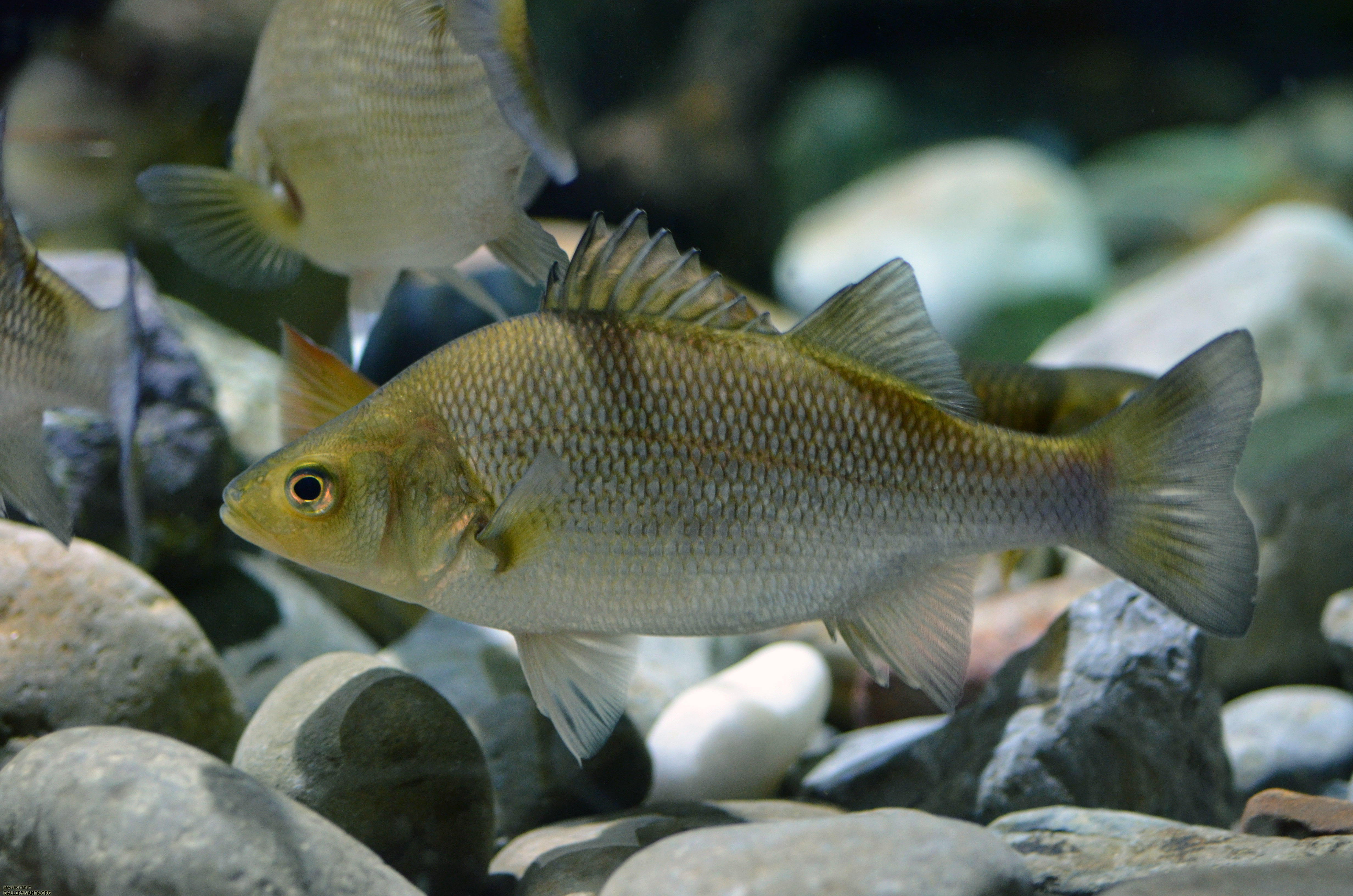 Image gallery white perch for White perch fish