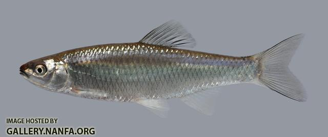 Cyprinella whipplei Steelcolor Shiner 892