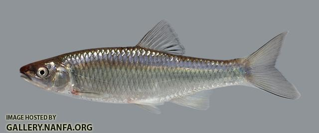 Cyprinella whipplei Steelcolor Shiner 1240