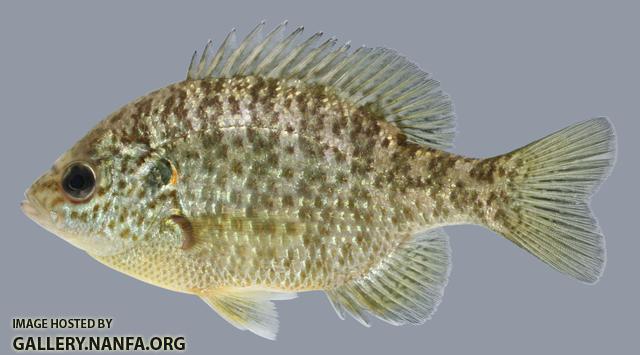Lepomis microlophus Redear Sunfish