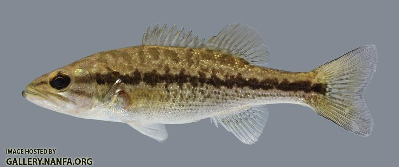 Micropterus punctulatus Spotted Bass 2804