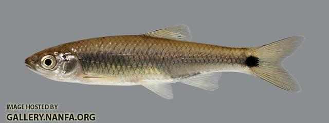 Cyprinella venusta Blacktail Shiner 282
