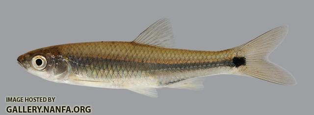 Cyprinella venusta Blacktail Shiner 454
