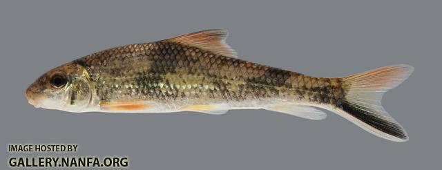 Moxostoma poecilurum Blacktail Redhorse