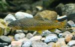 malebrowntrout2