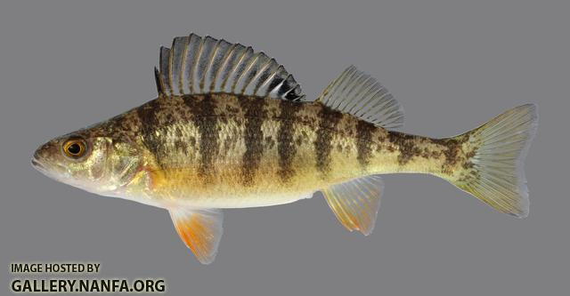 Perca flavescens Yellow Perch 109.2500