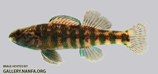 Etheostoma zonale Banded Darter 524.2500