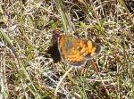 jersey copper butterfly 2 rsz