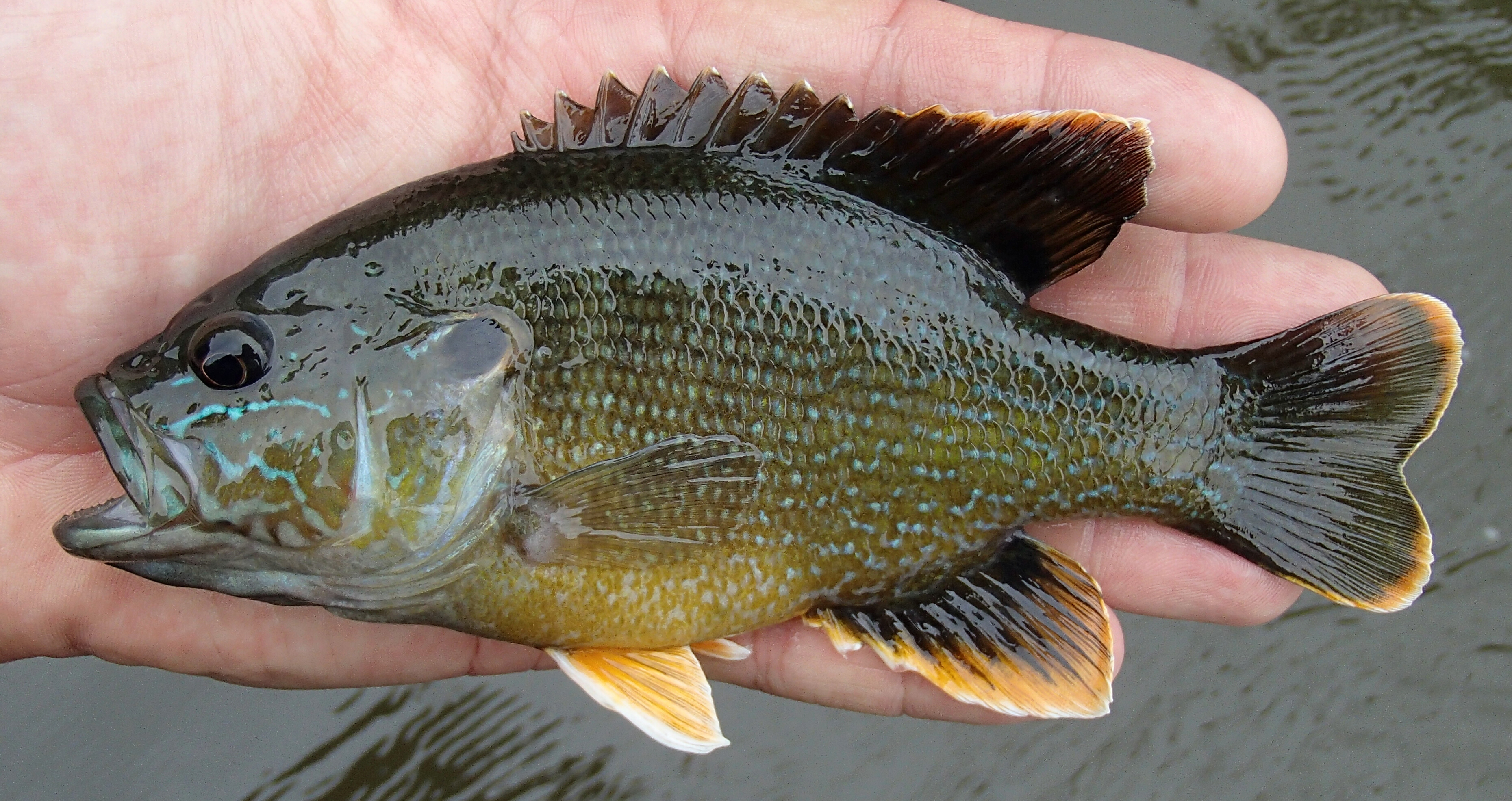 Can you id this fish bluegill hybrid page 2 ar15 com for Illinois fish species