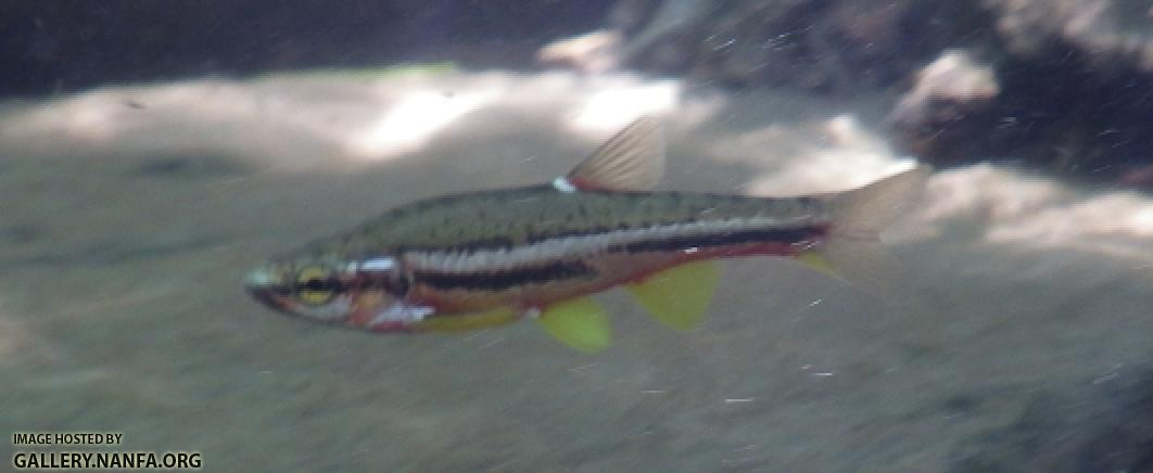 Tennessee Dace