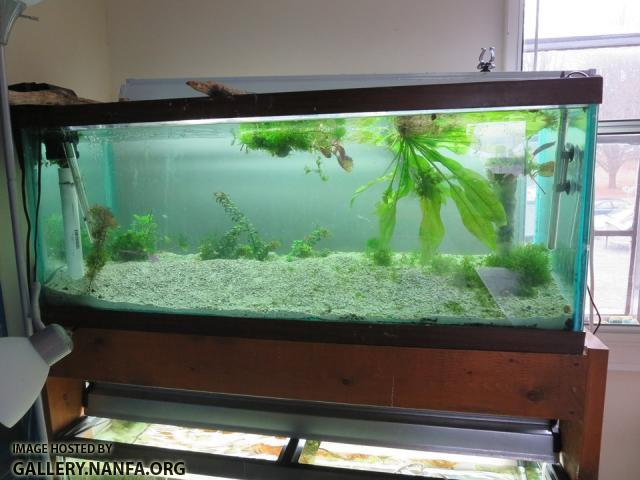 jan 25 picture of 75 gallon tank set up for elassoma okefenokee