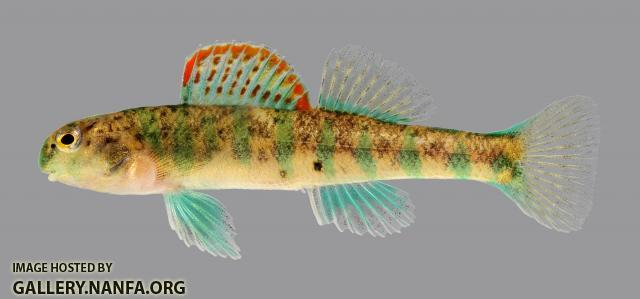 Etheostoma baileyi Emerald Darter 002-2500